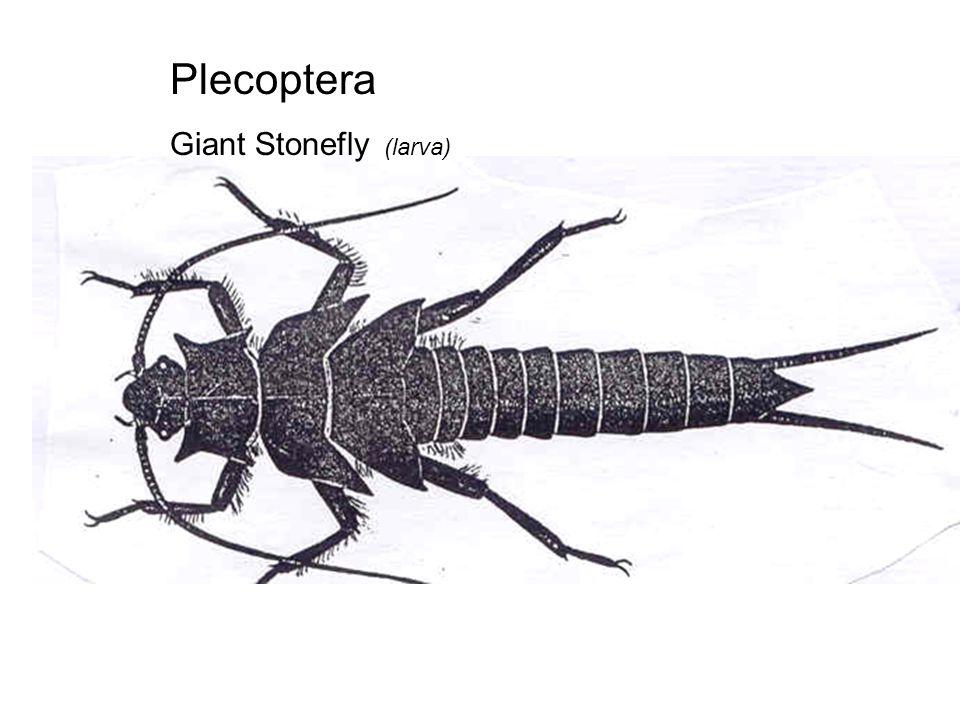 Plecoptera Giant Stonefly (larva)