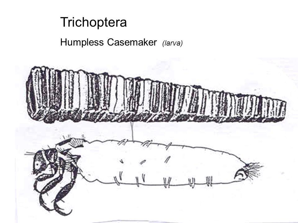 Trichoptera Humpless Casemaker (larva)