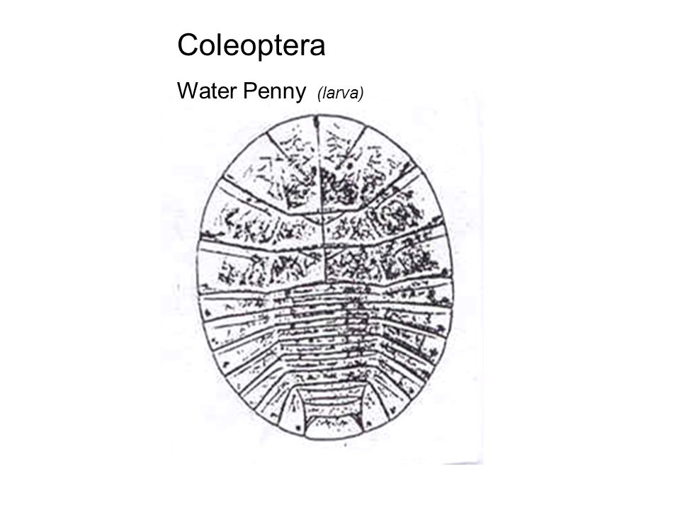 water penny adult