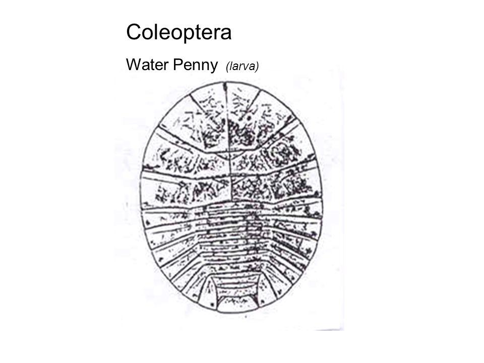 Coleoptera Water Penny (larva)
