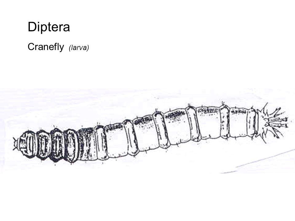 Diptera Cranefly (larva)