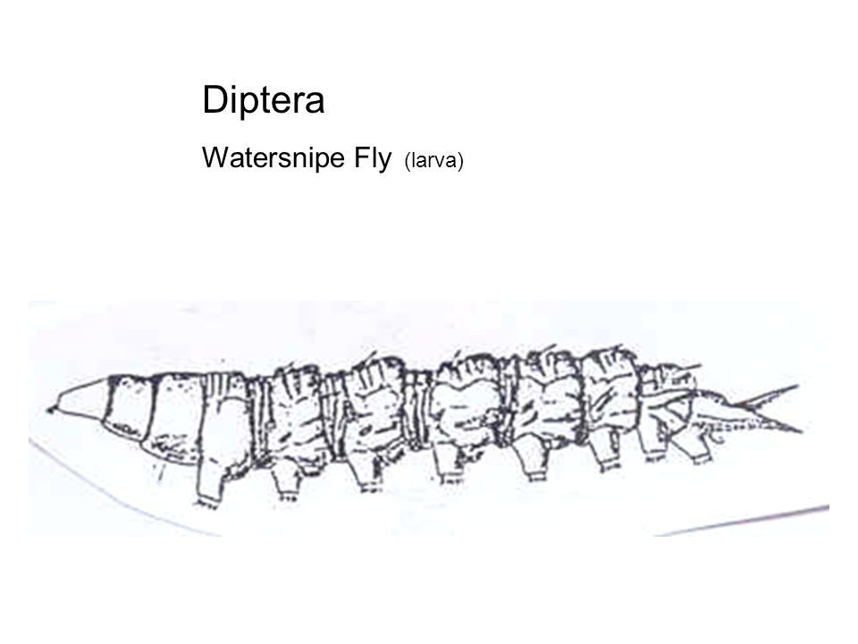 Diptera Watersnipe Fly (larva)