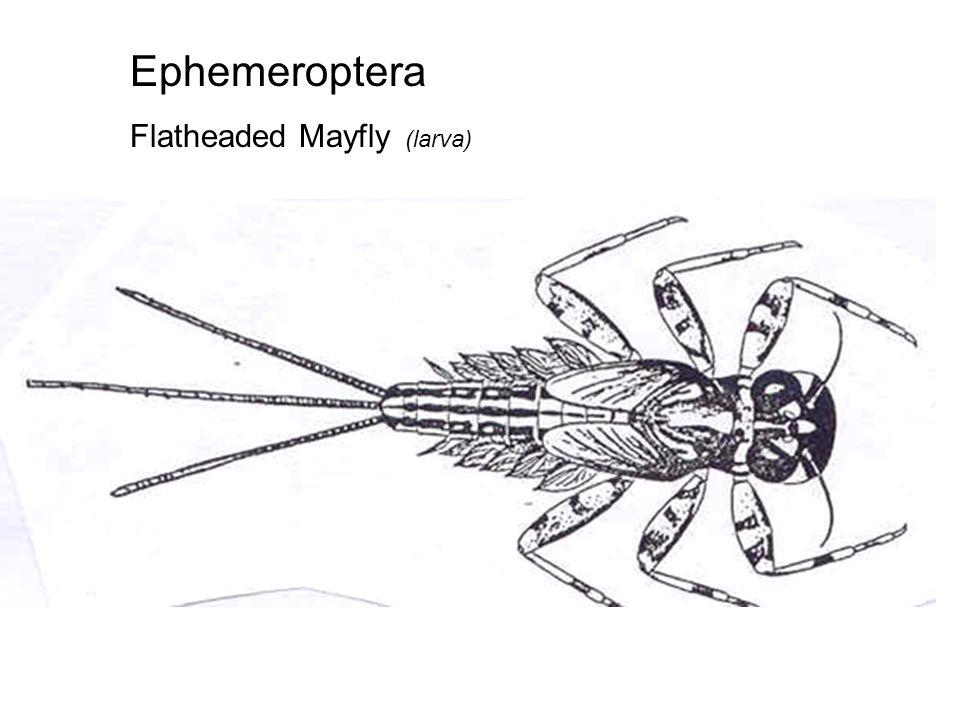 Ephemeroptera Flatheaded Mayfly (larva)