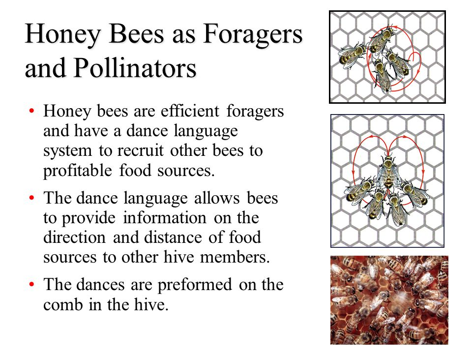 Honey Bees as Foragers and Pollinators