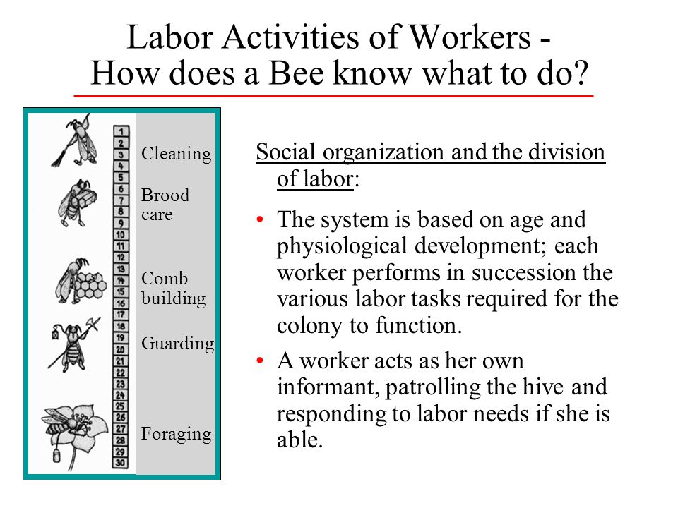 Labor Activities of Workers - How does a Bee know what to do