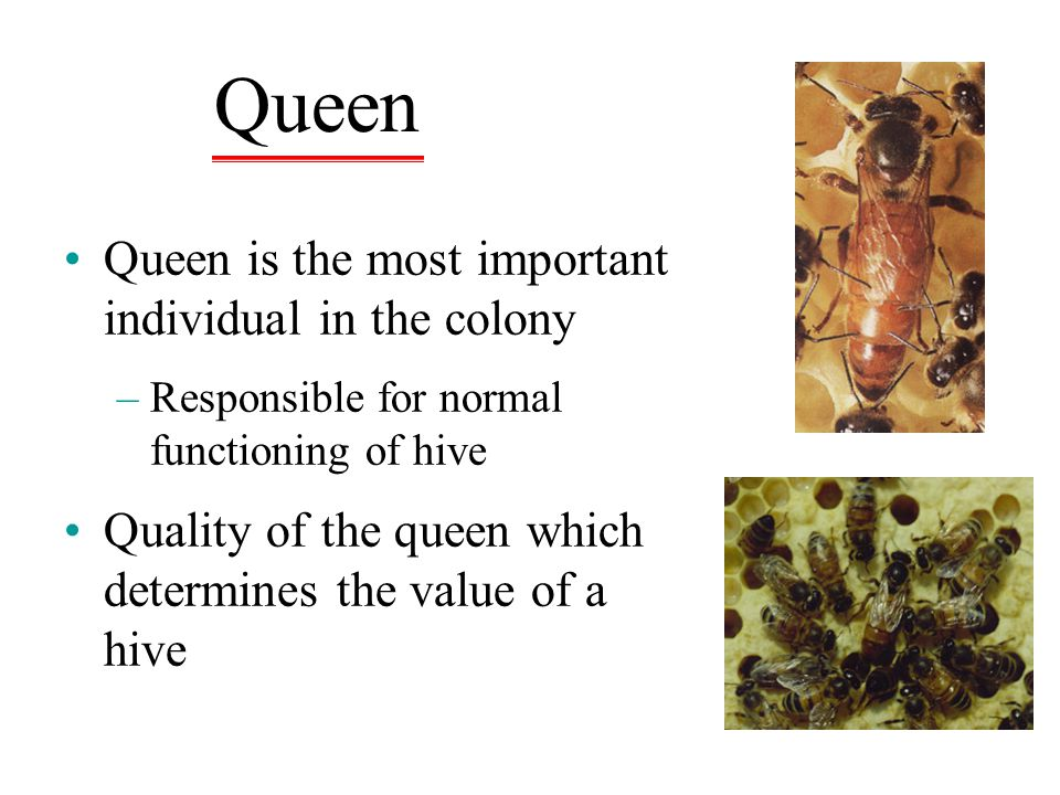 Queen Queen is the most important individual in the colony