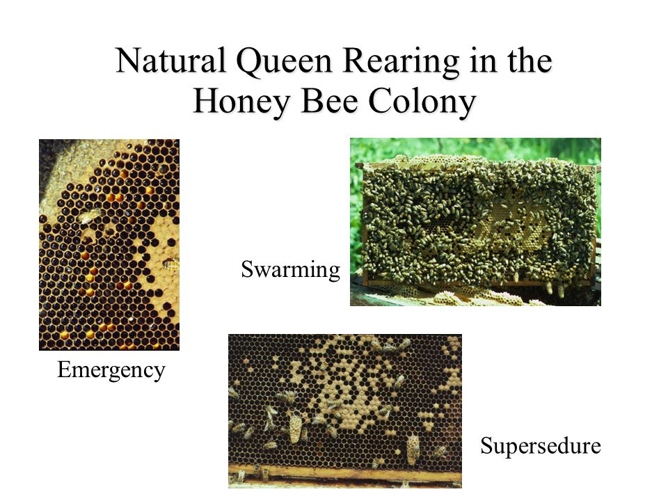 Natural Queen Rearing in the Honey Bee Colony