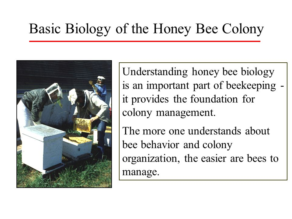 Basic Biology of the Honey Bee Colony
