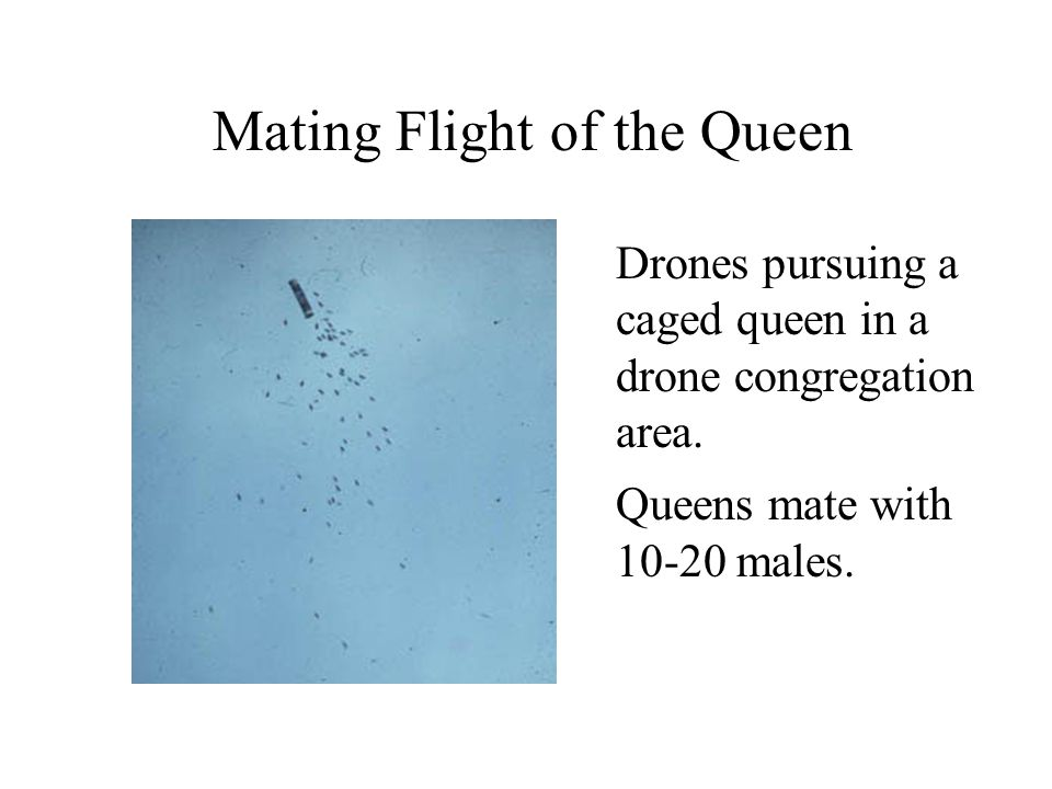Mating Flight of the Queen