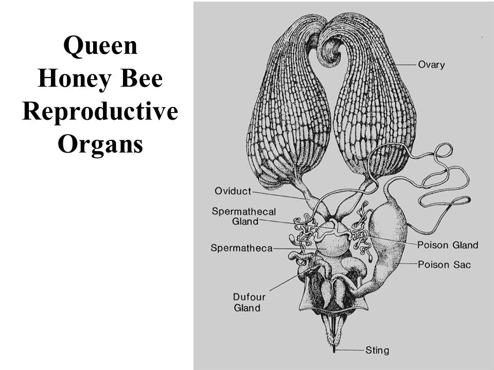 Honey Bee Reproductive Organs