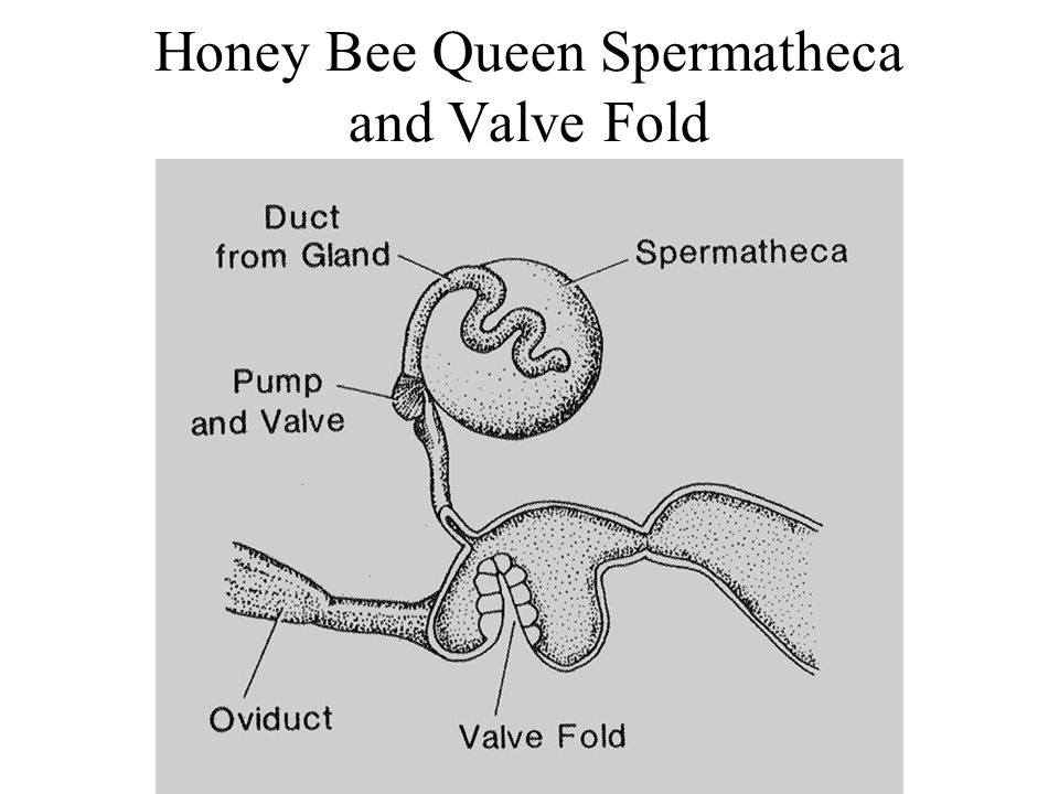 Honey Bee Queen Spermatheca and Valve Fold