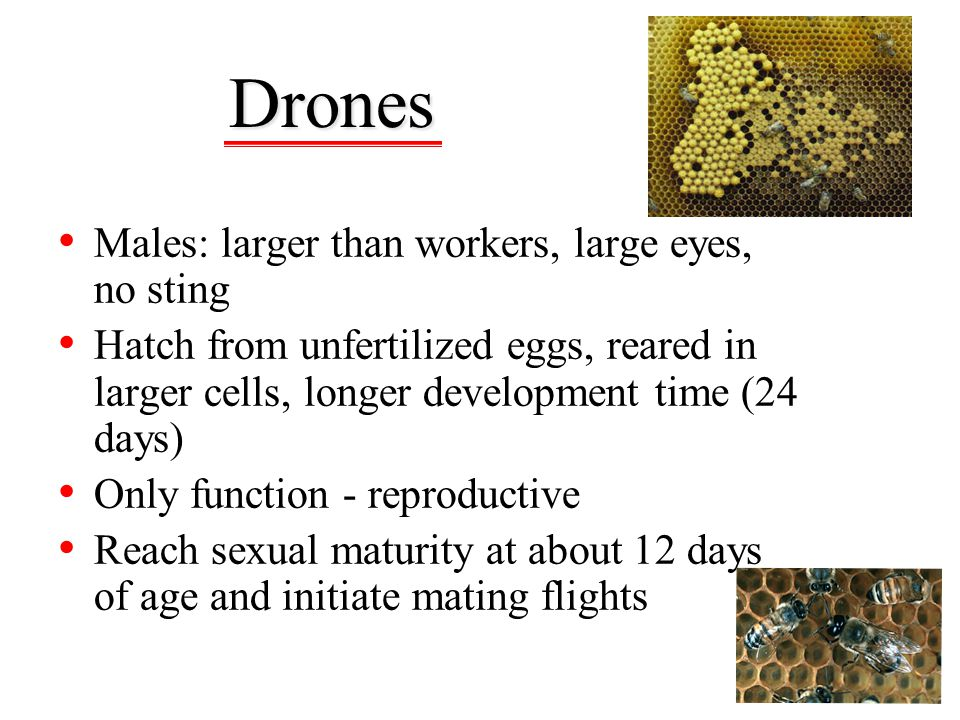 Drones Males: larger than workers, large eyes, no sting