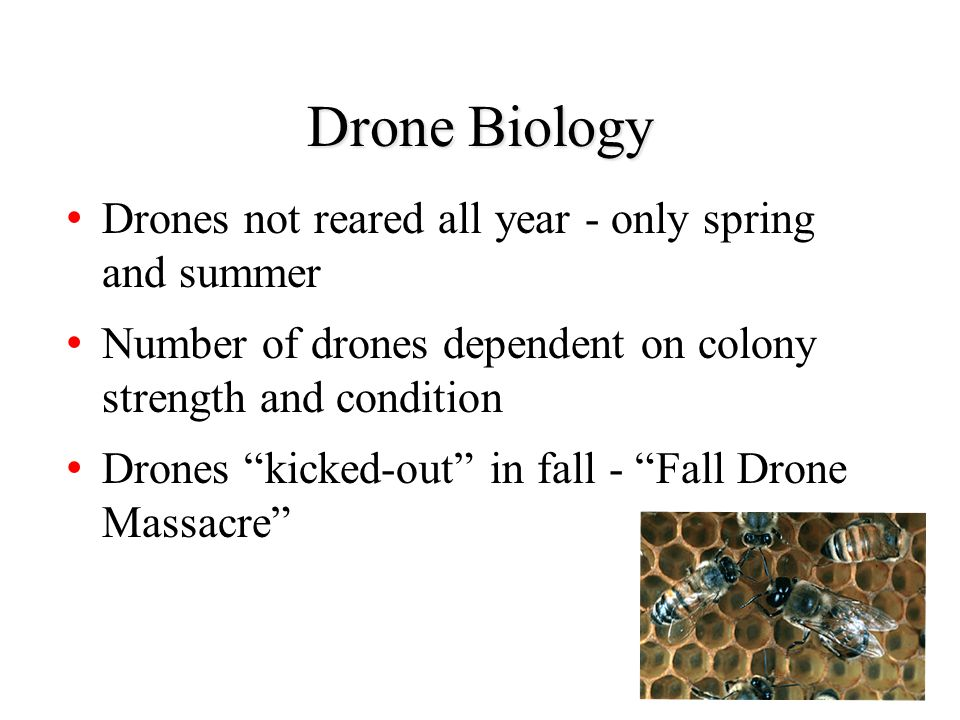 Drone Biology Drones not reared all year - only spring and summer