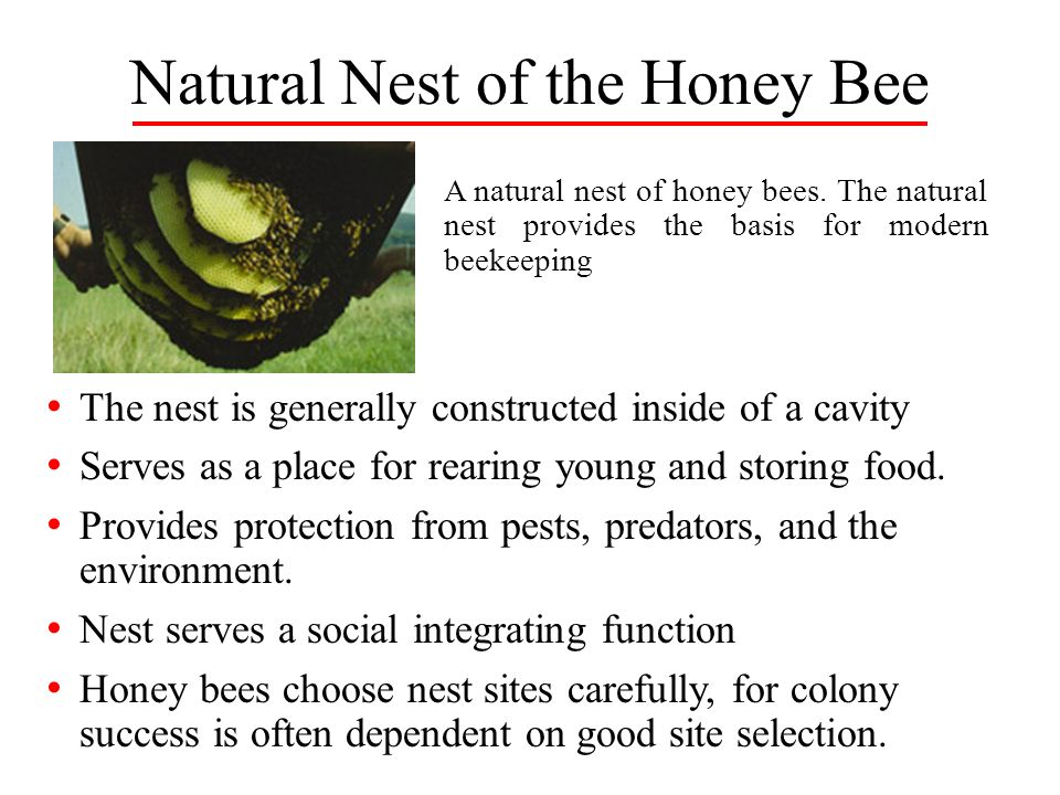 Natural Nest of the Honey Bee