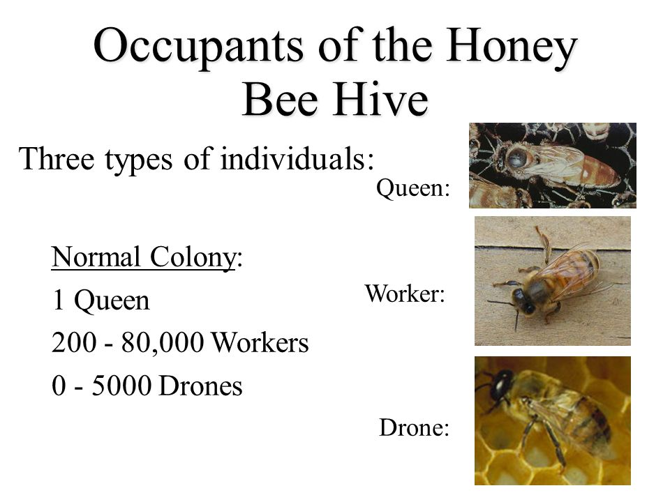 Occupants of the Honey Bee Hive