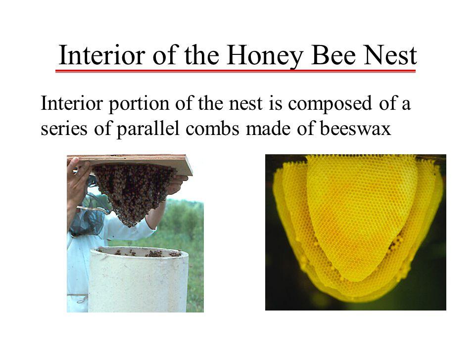 Interior of the Honey Bee Nest