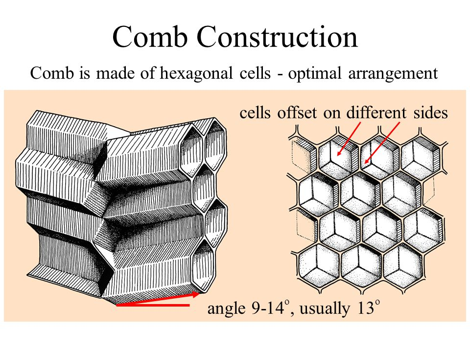 Comb Construction Comb is made of hexagonal cells - optimal arrangement. cells offset on different sides.