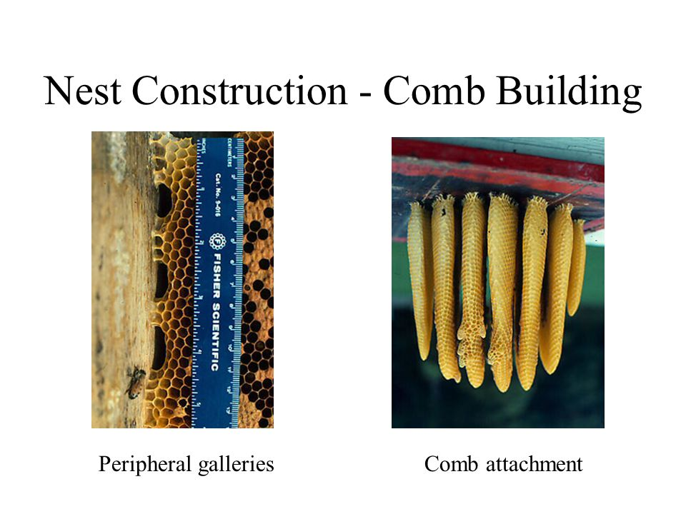 Nest Construction - Comb Building