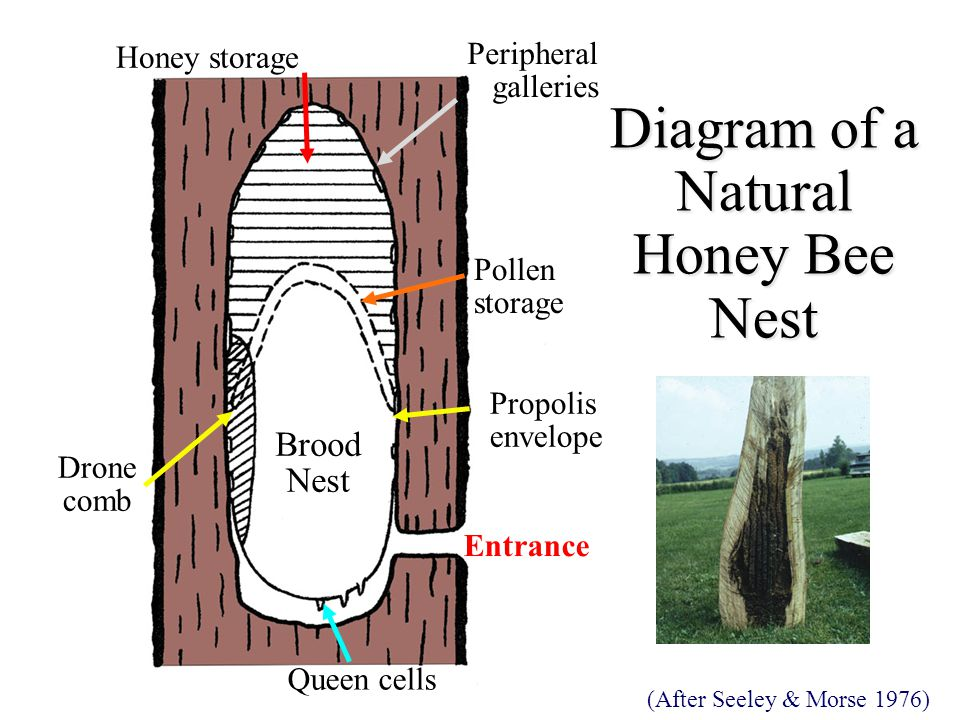 Diagram of a Natural Honey Bee Nest