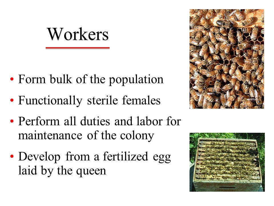 Workers Form bulk of the population Functionally sterile females