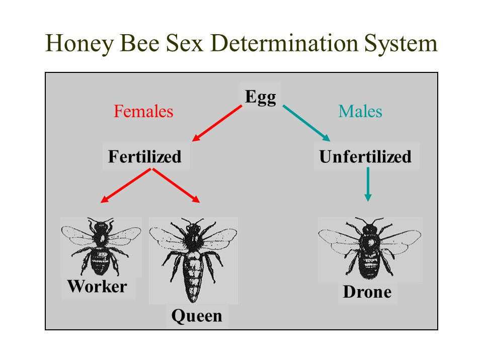 Honey Bee Sex Determination System