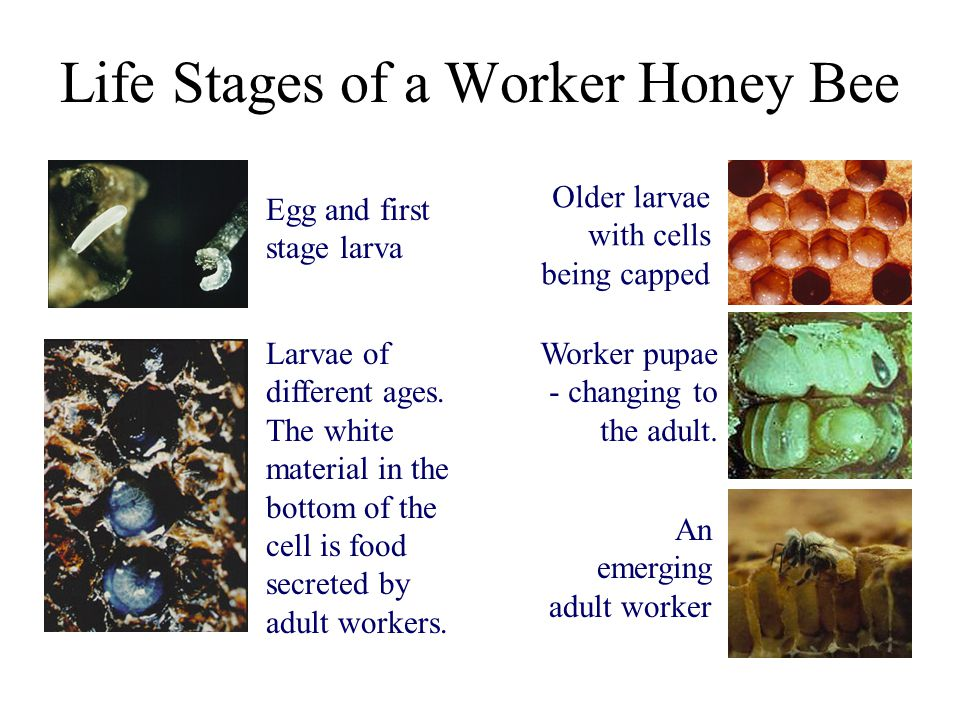 Life Stages of a Worker Honey Bee