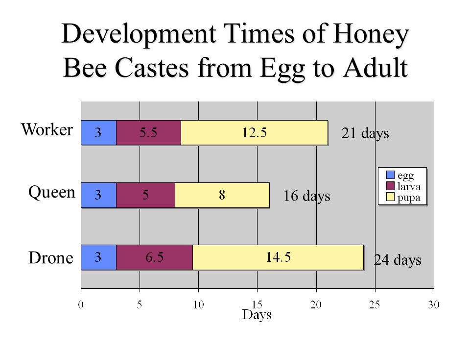 Development Times of Honey Bee Castes from Egg to Adult