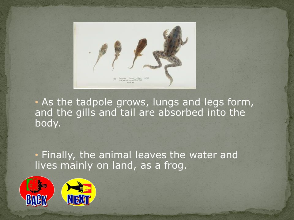 As the tadpole grows, lungs and legs form, and the gills and tail are absorbed into the body.