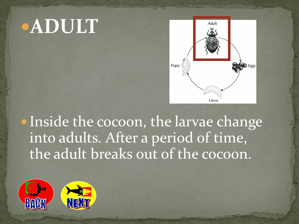 ADULT Inside the cocoon, the larvae change into adults. After a period of time, the adult breaks out of the cocoon.
