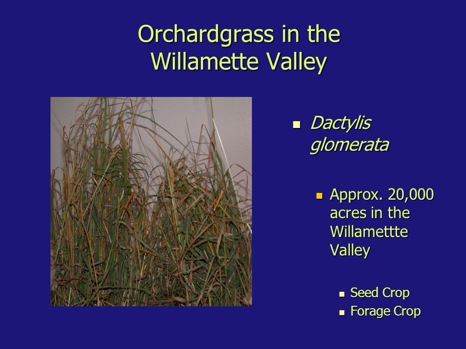 Orchardgrass in the Willamette Valley