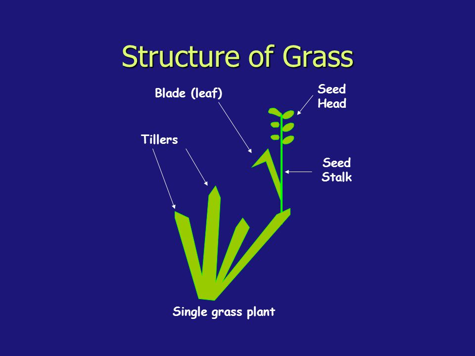 Structure of Grass Seed Head Blade (leaf) Tillers Seed Stalk