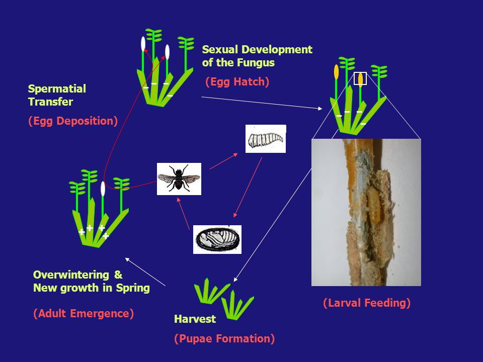 - - + Sexual Development of the Fungus (Egg Hatch) Spermatial Transfer