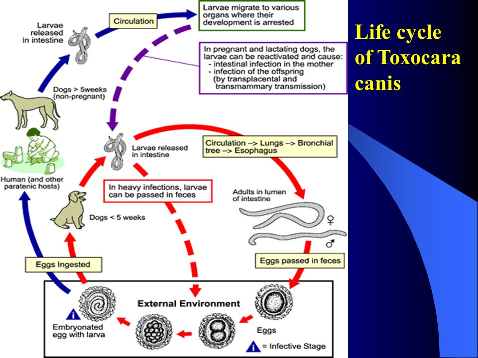 Life cycle of Toxocara canis