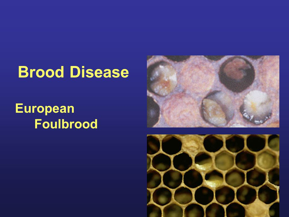 Brood Disease European Foulbrood