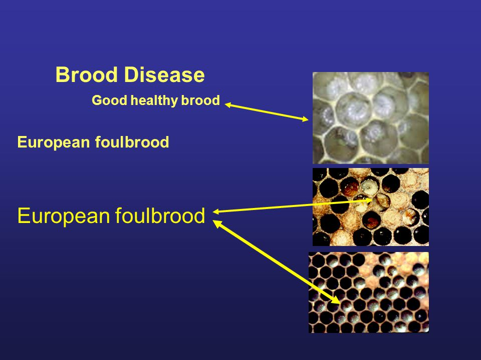 Brood Disease Good healthy brood European foulbrood