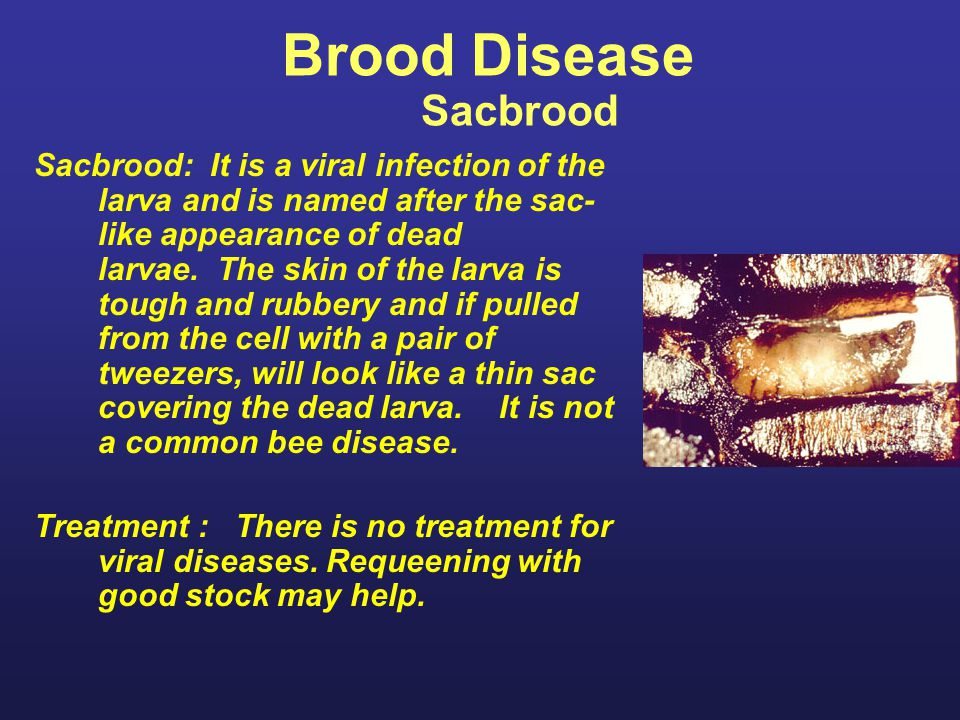 Brood Disease Sacbrood