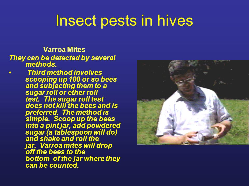 Insect pests in hives Varroa Mites