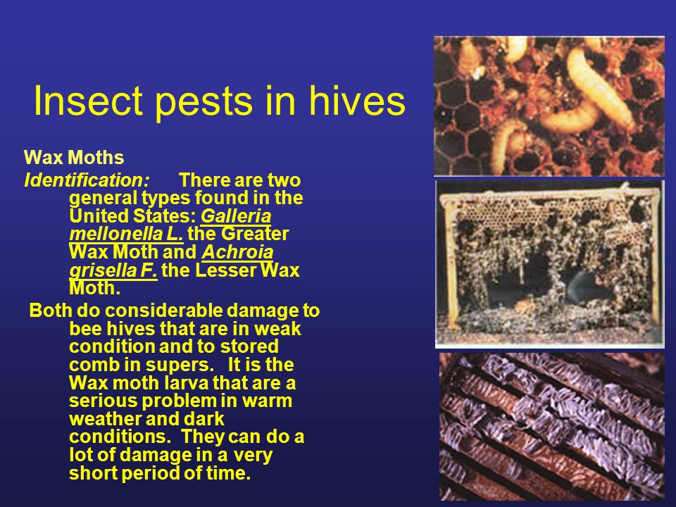 Insect pests in hives Wax Moths