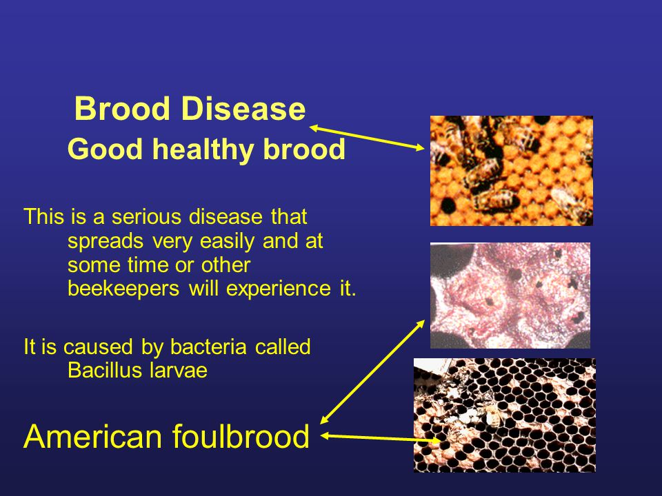 Brood Disease American foulbrood Good healthy brood