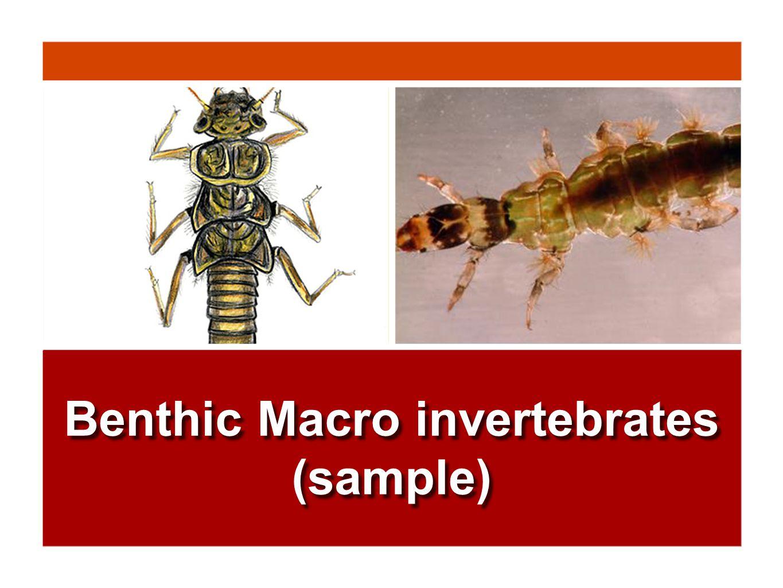 Benthic Macro invertebrates (sample)