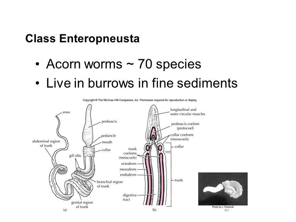 Live in burrows in fine sediments