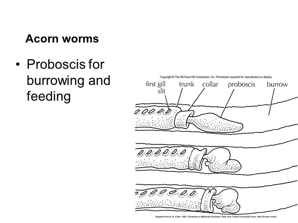 Proboscis for burrowing and feeding