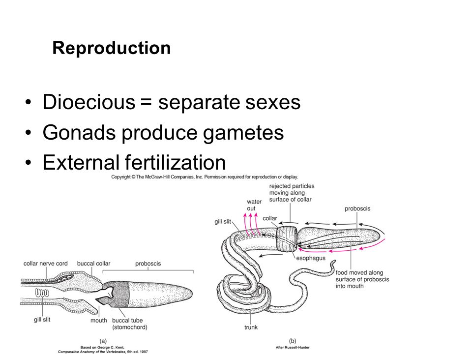 Dioecious = separate sexes Gonads produce gametes