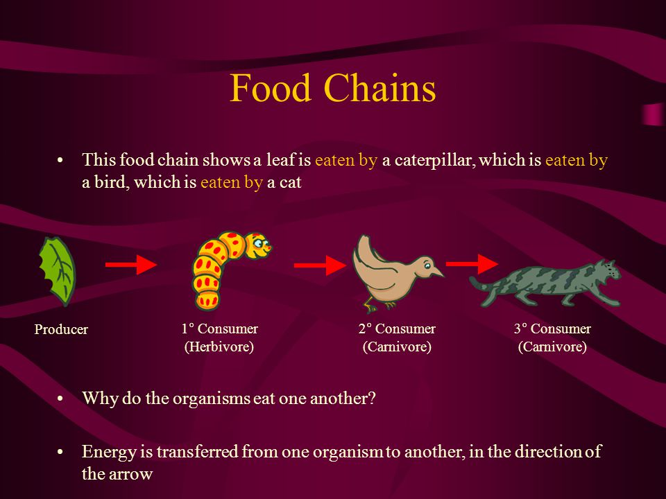 Food Chains This food chain shows a leaf is eaten by a caterpillar, which is eaten by a bird, which is eaten by a cat.