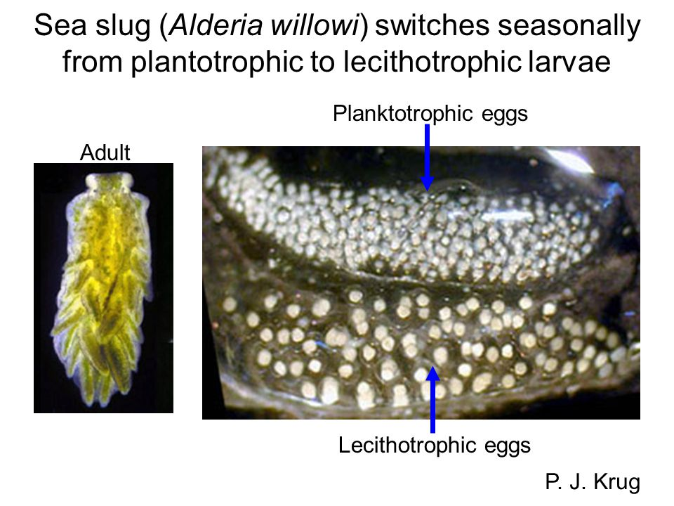 Sea slug (Alderia willowi) switches seasonally from plantotrophic to lecithotrophic larvae