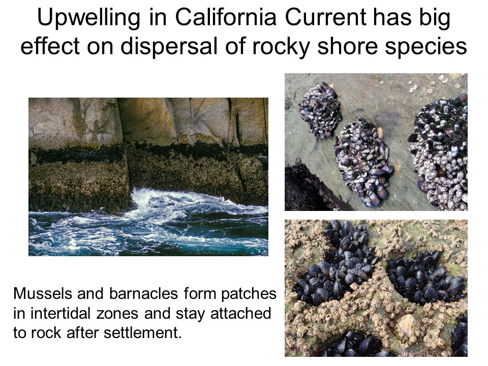 Upwelling in California Current has big effect on dispersal of rocky shore species