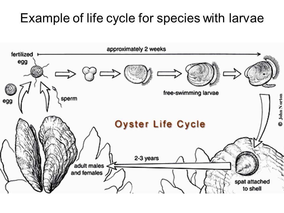 Example of life cycle for species with larvae