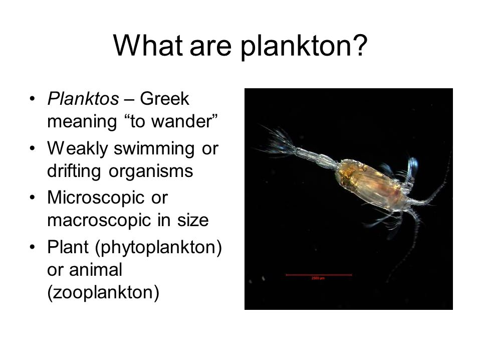 What are plankton Planktos – Greek meaning to wander