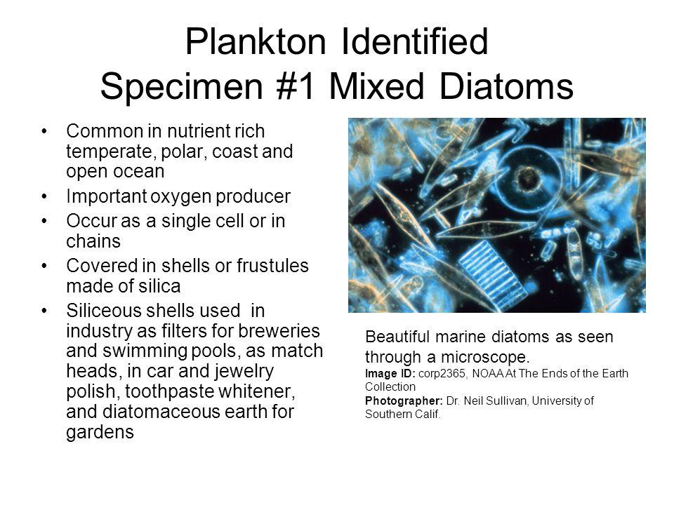 Plankton Identified Specimen #1 Mixed Diatoms