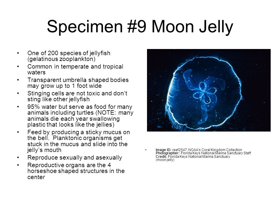 Specimen #9 Moon Jelly One of 200 species of jellyfish (gelatinous zooplankton) Common in temperate and tropical waters.